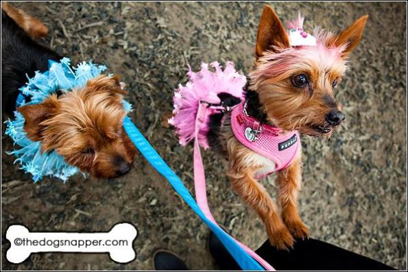 Nancy (at front) and Ned, Yorkshire Terriers