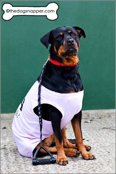 Scarlett, Rottweiler