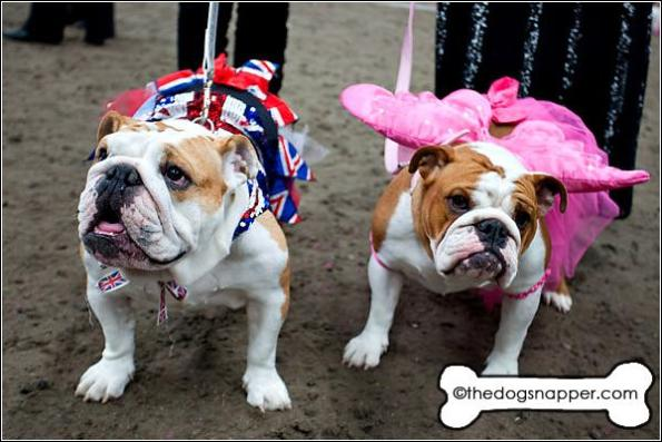 Gracie (left) and Angel, Bulldogs