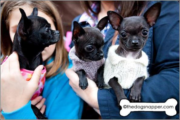 (left to right) Pippachoo, Boo and Chi Chi, Chihuahua