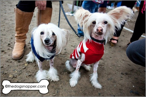 Bo (right) and Euro, Chinese Crested