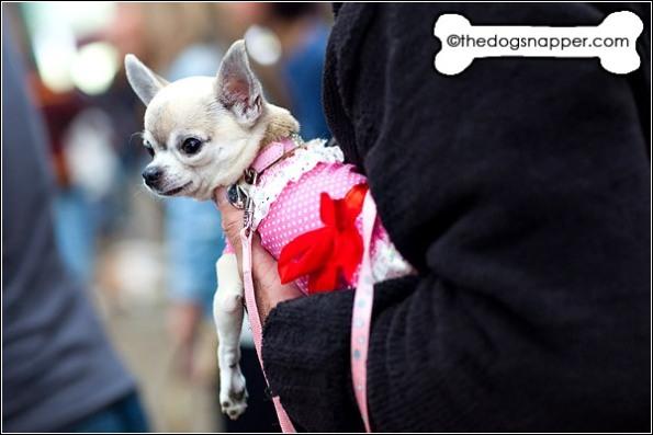 Princess Bibi, Chihuahua