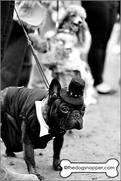 Dillon, French Bulldog