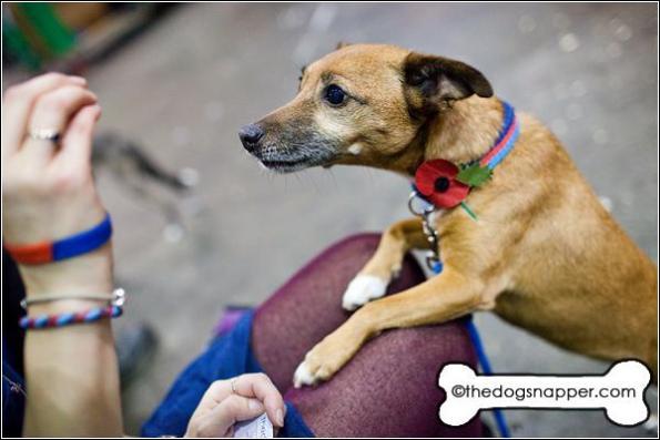 Rascal, Jack Russell/Norfolk Terrier X