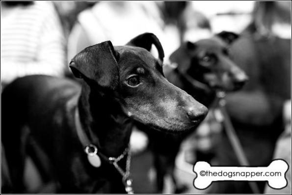 Ollie (front) and Tasha, Manchester Terriers