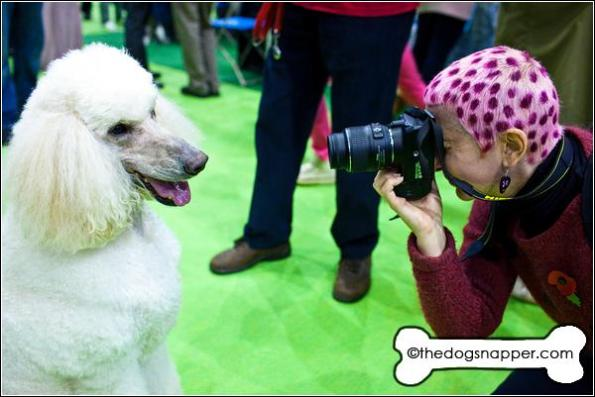 Silas, Standard Poodle being photographed by Bridget Orlando (Pet Portraits)