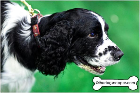 Flint, English Springer Spaniel
