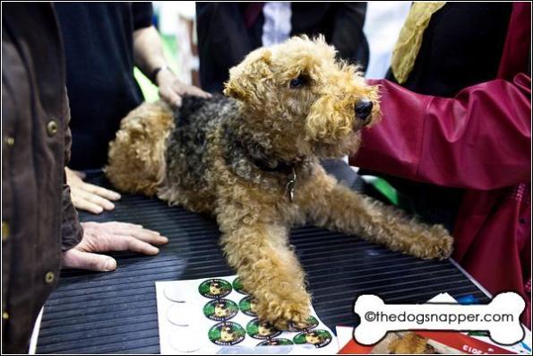 Dilys, Welsh Terrier