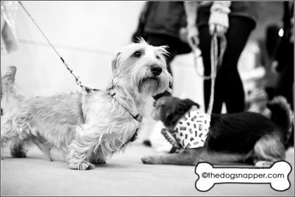 Dexter, Wire Haired Daschund (left) and Dodger, Jack Russell X