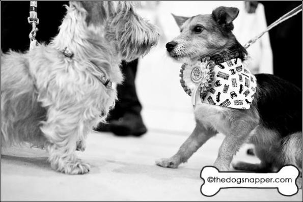 Dodger, Jack Russell X (right) and Dexter, Wire Haired Daschund