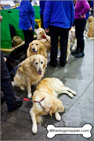 Ollie, Southern Golden Retriever Display Team