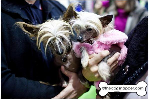 Norman (left) and Nelly, Chinese Crested