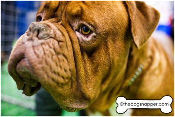 Vinnie, Dogue de Bordeaux
