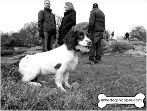 Mickey, English Springer Spaniel
