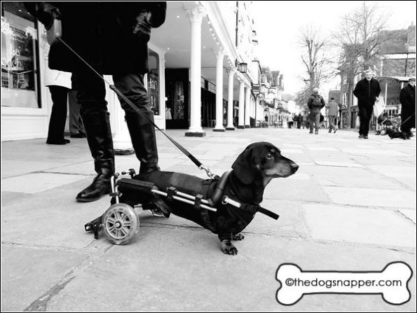 Bert the Daschund with his dog wheelchair