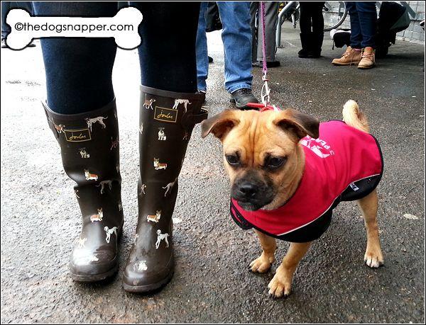 Full grown jug dog - photo#13